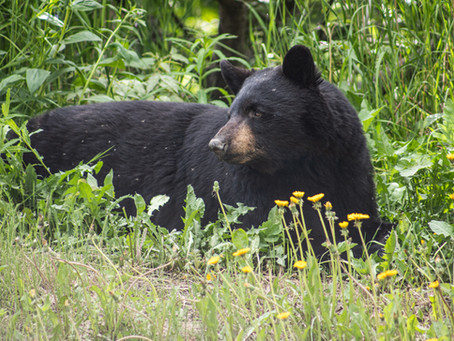 Bear Etiquette: how to avoid a bear attack