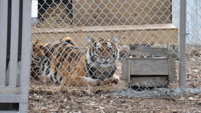 Towson T4T Travels to Carolina Tiger Rescue