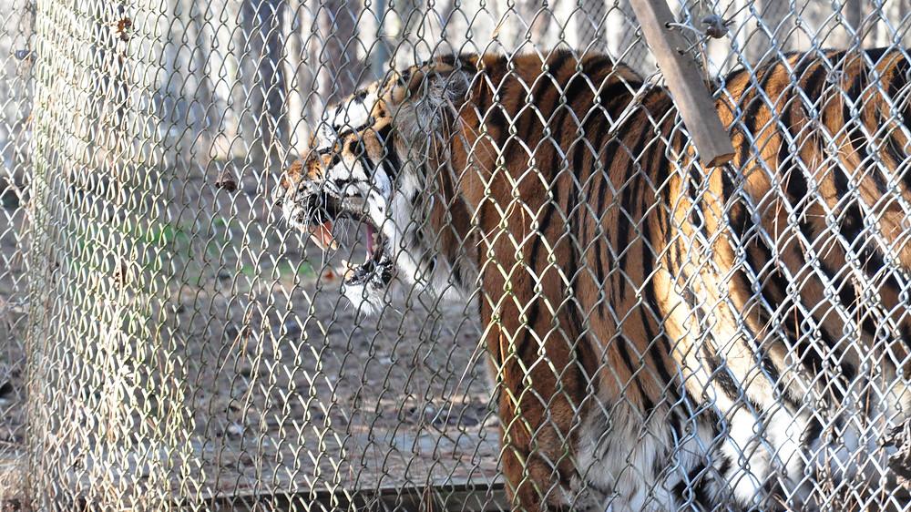 Captive Tiger at Carolina Tiger Rescue