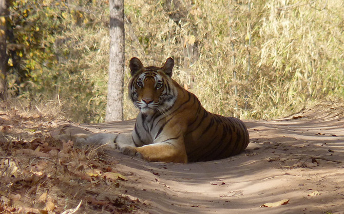 Victory for Tiger Conservation!