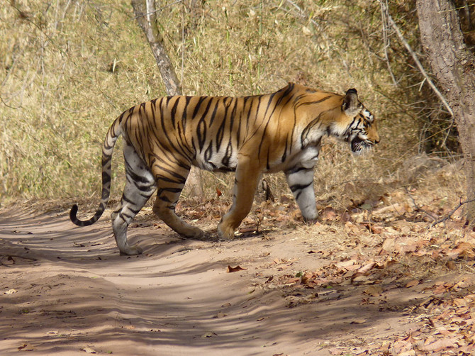 Protect Critical Tiger Habitat Today!