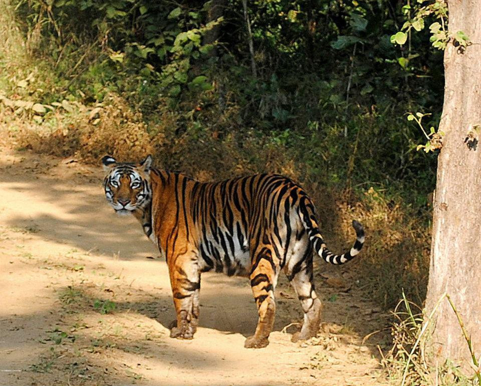 Wild Tiger in India