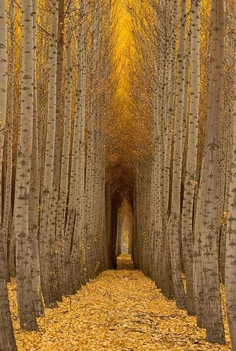 aspen tree tunnel.jpeg