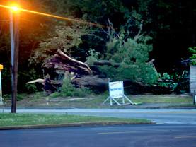 Historic Tree Comes Down