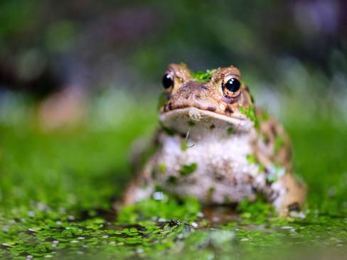 Moody Frog