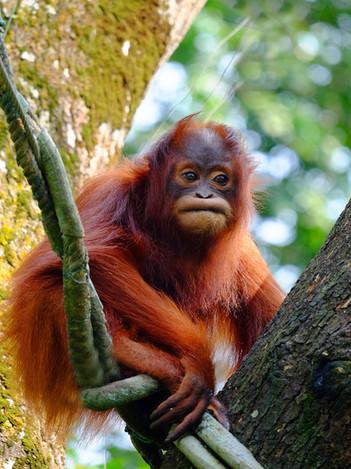 Orangutan, Singapore