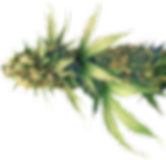weed-cbh-india_edited.png