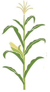 corn stalk.png