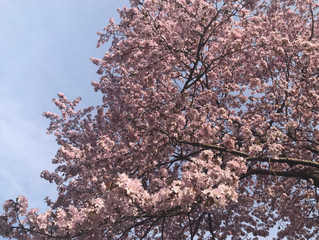 桜満開&宇宙から来た生き物に会って来た話