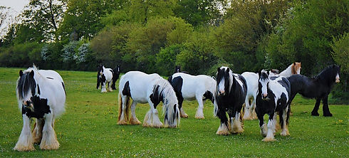 gypsy horses in a field