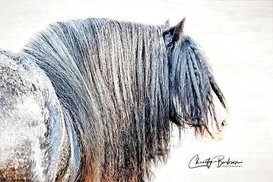 SD The Don Gypsy Horse
