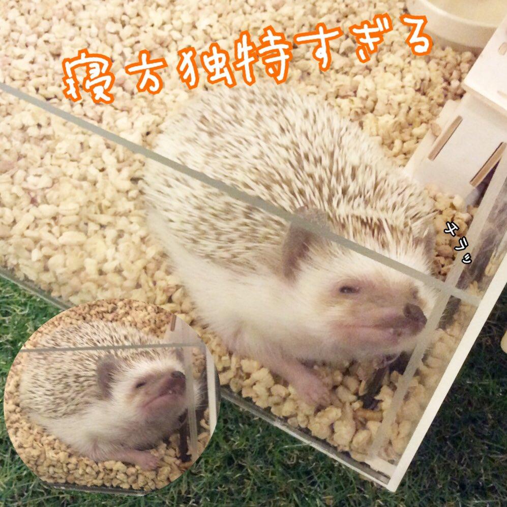 ハリネズミ(hedgehog) 小動物カフェ
