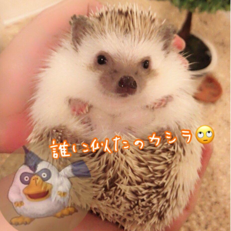 ハリネズミ(hedgehog) 触れ合いカフェ
