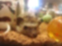 マイクロピッグ、ミニヤギ、チンチラ、モルモット、パンダマウス、ハムスター、マイクロブタ、ハリネズミカフェ 大阪、hedgehog、ハリアンジュ、フクロウのみせ、ハリネズミ 南森町、天神橋筋商店街、中村屋、ふれあいカフェ、触れ合いカフェ、小動物カフェ