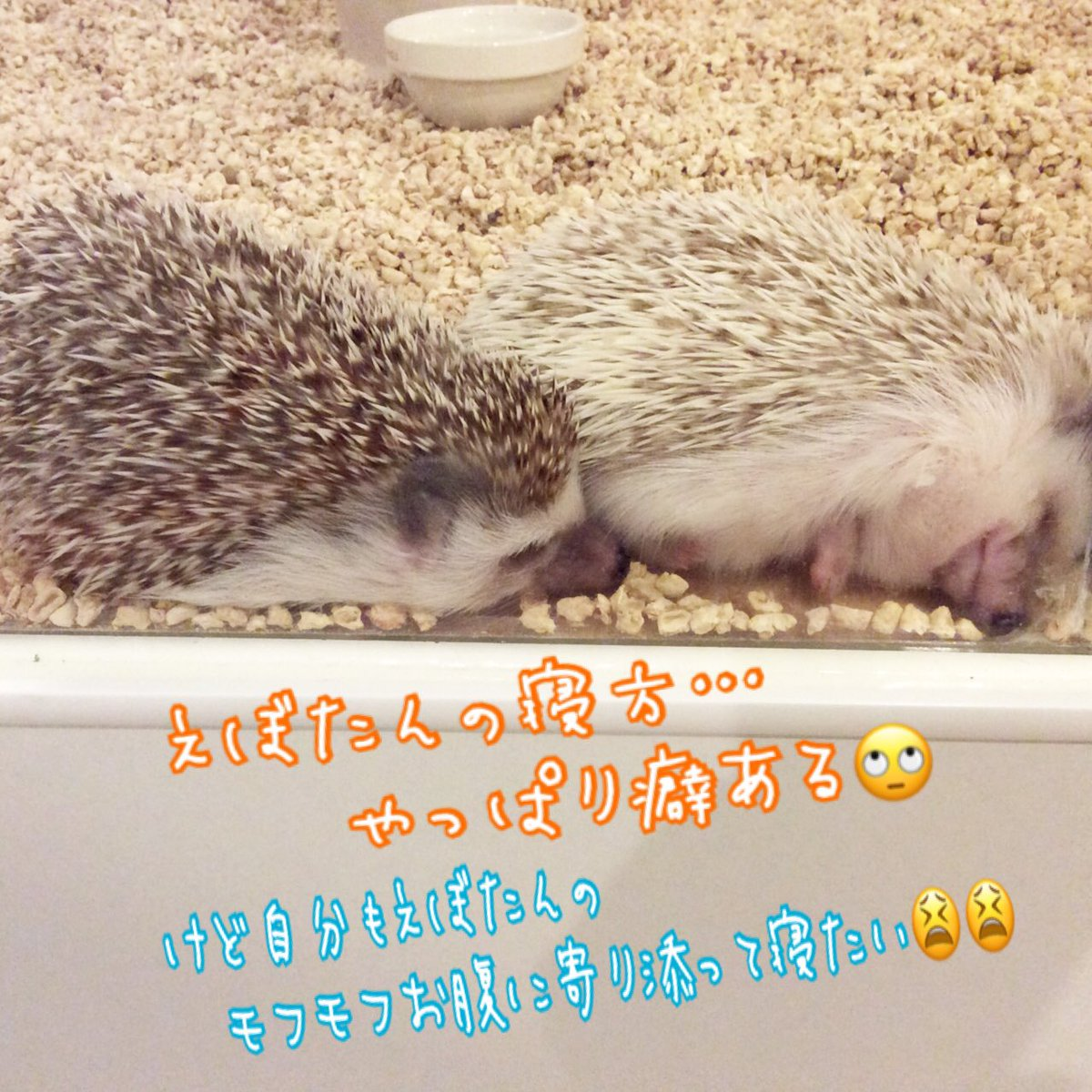 ハリネズミ(hedgehog) ふれあいカフェ