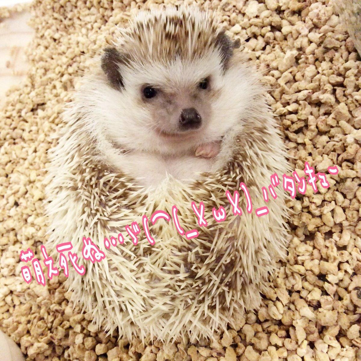 ハリネズミ(hedgehog) 大阪 天満宮