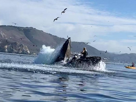 Humpback whale almost swallows kayaker near California beach