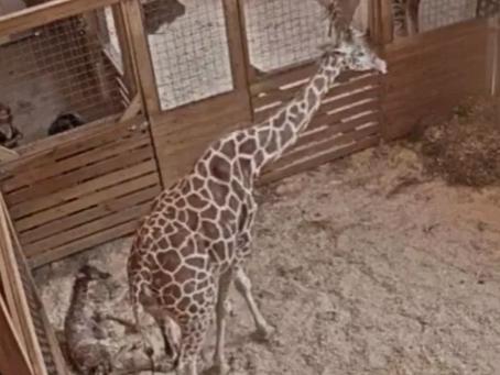 April the Giraffe gives birth again