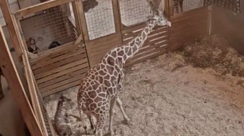 April the Giraffe gives birth again