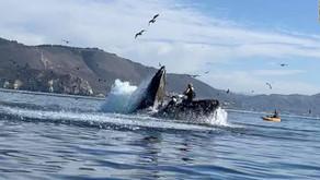 Humpback whale almost swallows kayaker near California beach