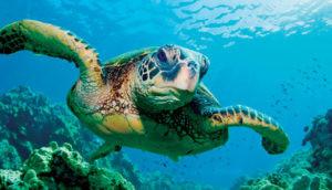 Sea turtle Akumal