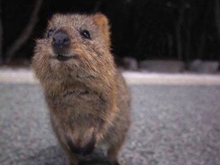 Atheist Life Hacks: How To Meet A Quokka
