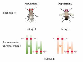 Synthèse : le brassage chromosomique