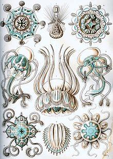 Planche de Narcomedusae (hydrozoaires), Ernst Haeckel 1904