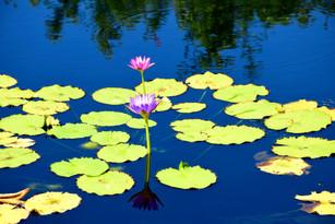 Water Lilies 00262.jpg