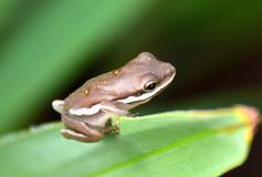 Tree Frog Close-Up 01110.JPG