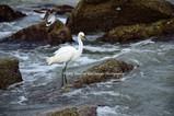 White Bird on Rocks BGI 20572.jpg