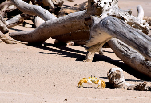 Crab and Driftwood 11933.jpg