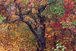 Gnarled Tree Amidst Stunning Colors 0314