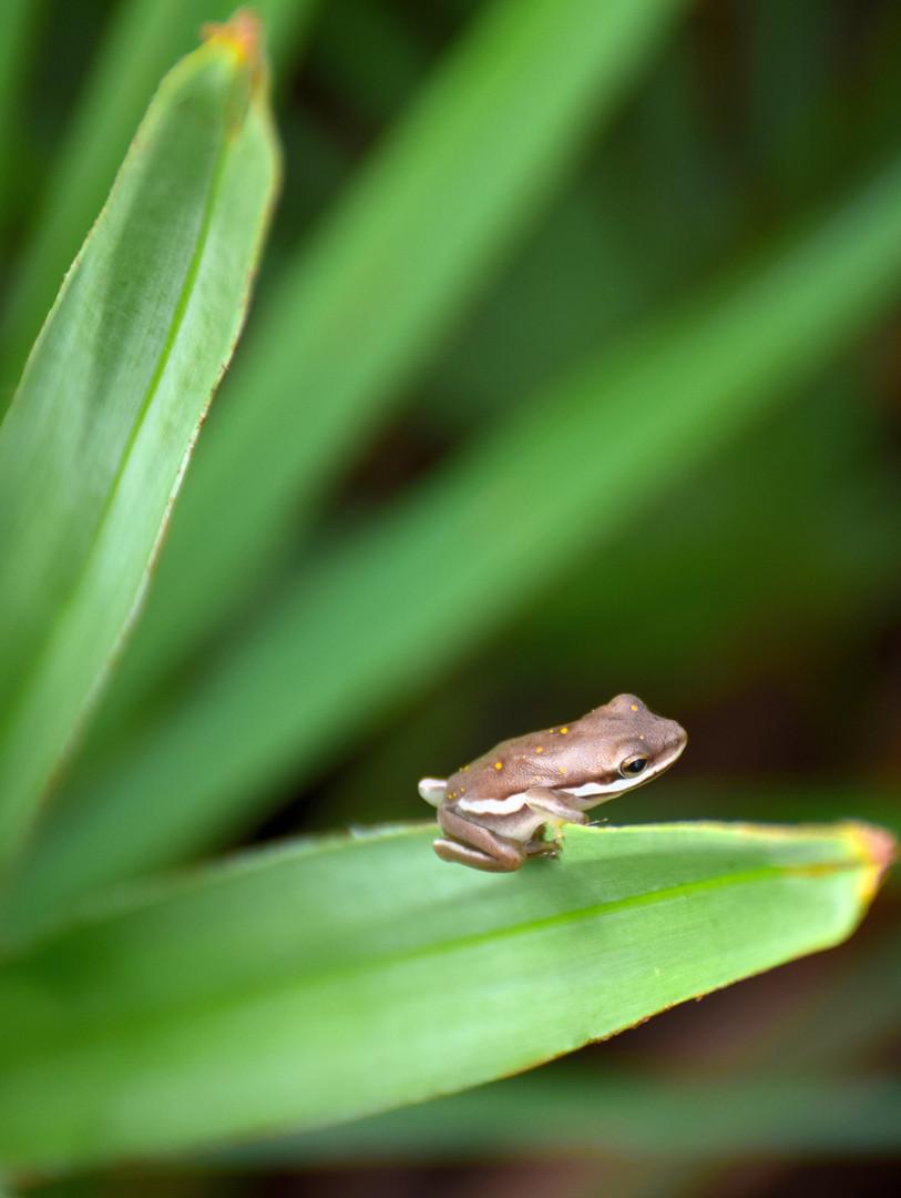 Tiny Tree Frog 01109.JPG