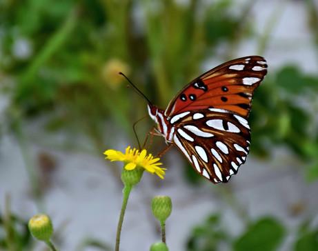 Butterfly and Dandelion 00617.JPG