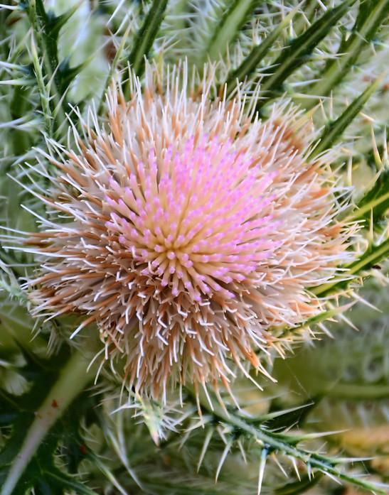 Thistle Bloom 00906.jpg