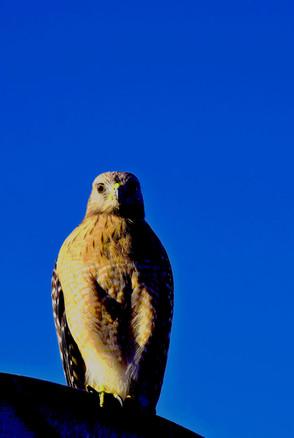 Vivid Hawk 00129.jpg