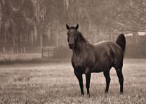 Misty Morning Stallion Sepia 00817.jpg