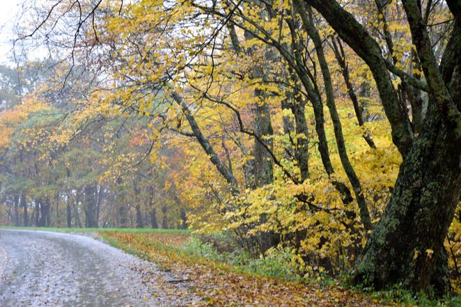 Golden Tree Highway 02779.JPG