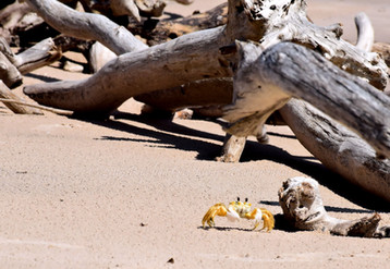Crab and Driftwood BGI 11933.jpg