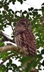 Spotted Owl in Tree 01568.jpg