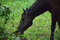 WIld Horse Grazing 16276.jpg
