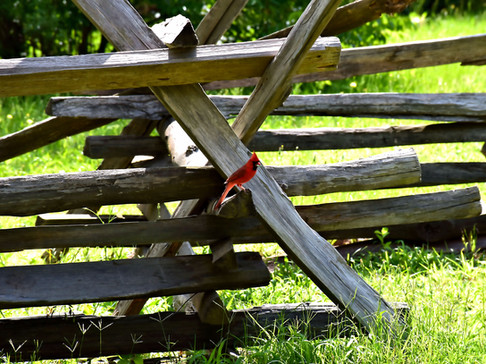 Cardinal on Wooden Lean-To Fence 13899.j