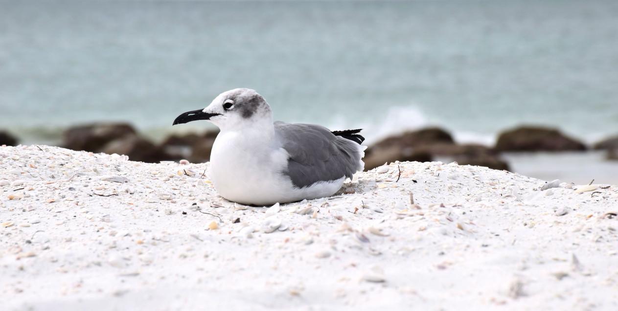 Gull on Beach 10617.jpg