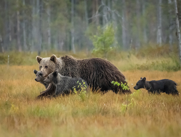 Mom with Three Cubs