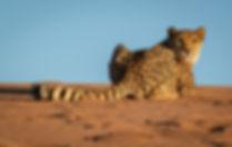 Cheetah Resting in the Desert, Namibia.j