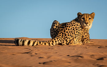 Cheetah Resting in the Desert, Namibia.j