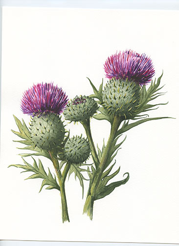 Scottish Thistles 2.jpg