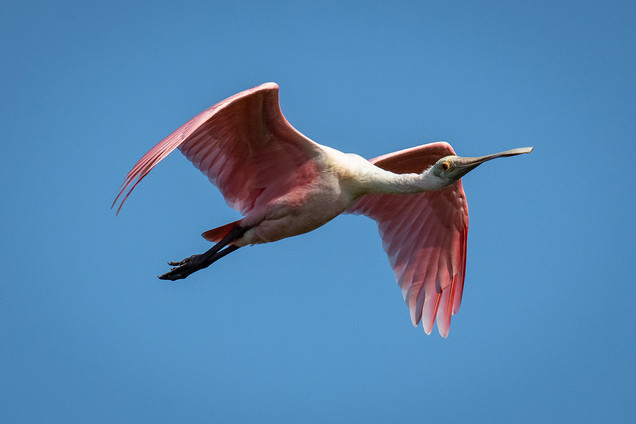 Roseate Spoonbill Flying-2