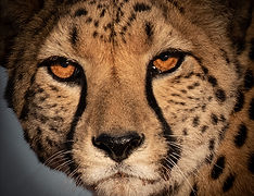 Cheetah Face, Namibia.jpg